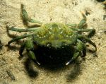 The Green Crab in an underwater environment. Photo courtesy of Planetanimalzone: http://planetanimalzone.blogspot.ca/2012/05/europe-green-crab-and-green-crab.html